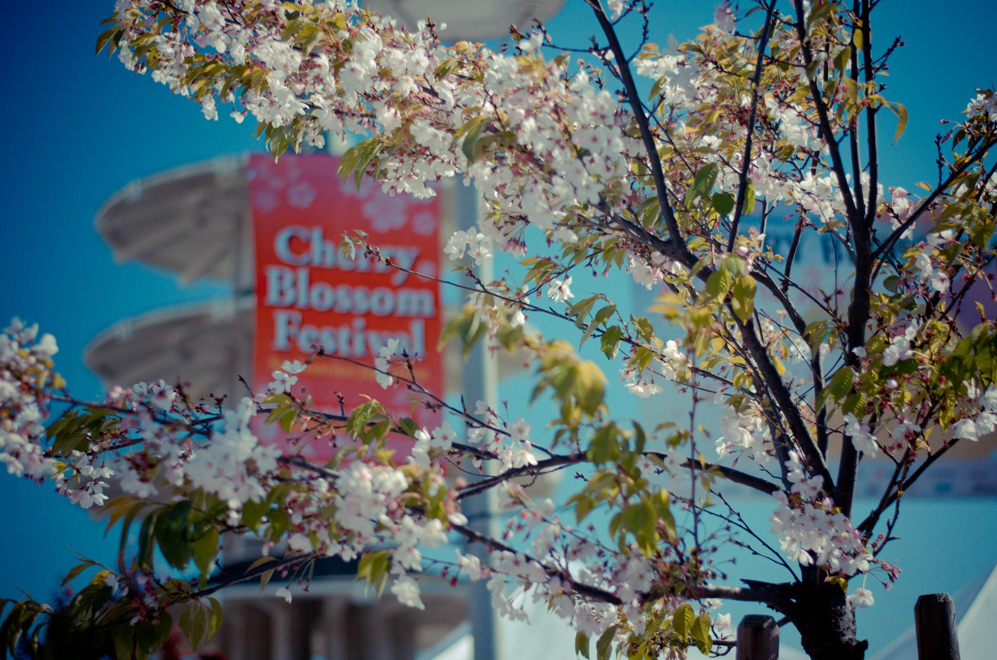 cherry blossom festival 2020 - HD1920×1271
